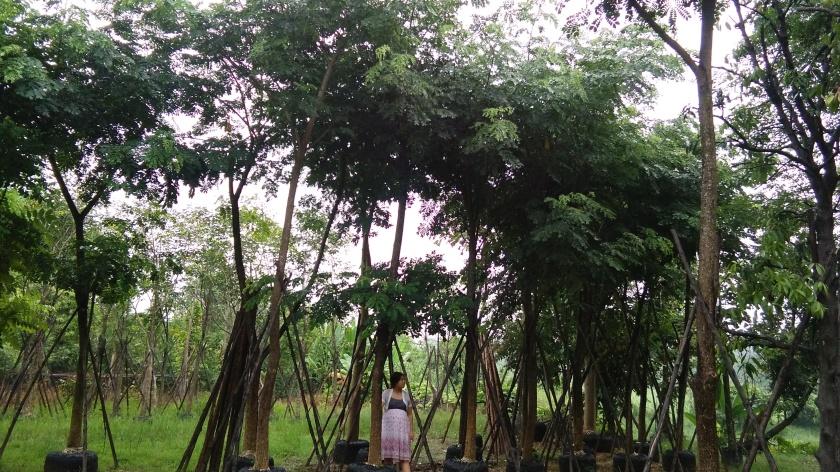 ต้นจามจุรี