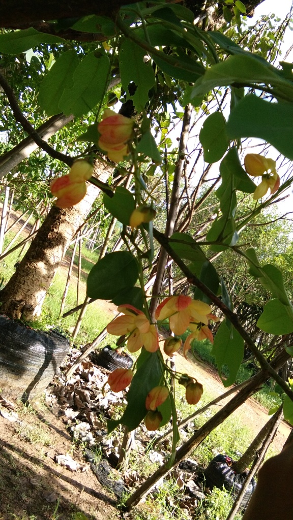 ขาย ต้นคูณดอกชมพู