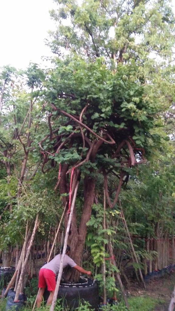 ขายต้นเสี้ยวป่า