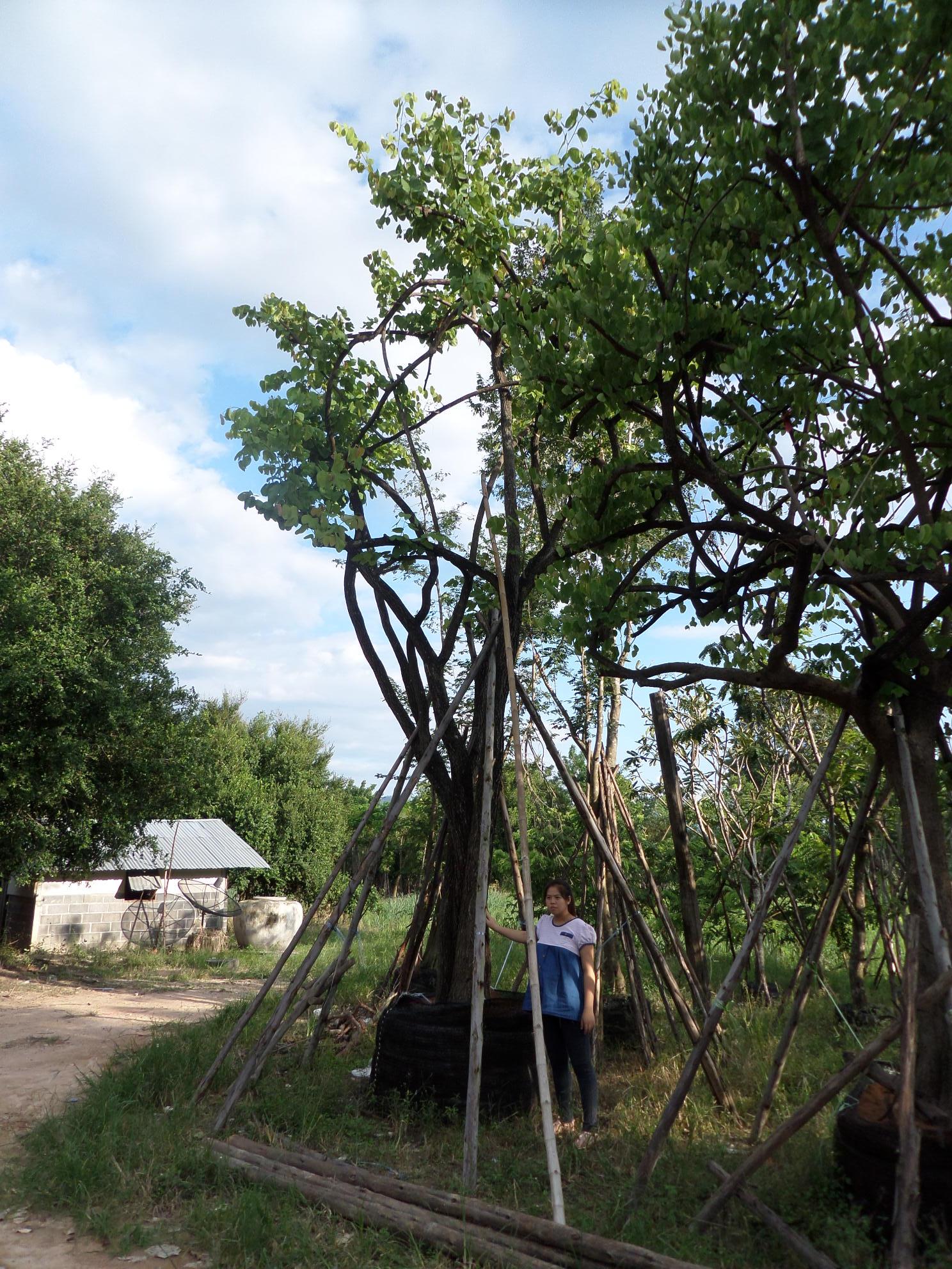 ขายต้นเสี้ยวป่า 17 นิ้ว