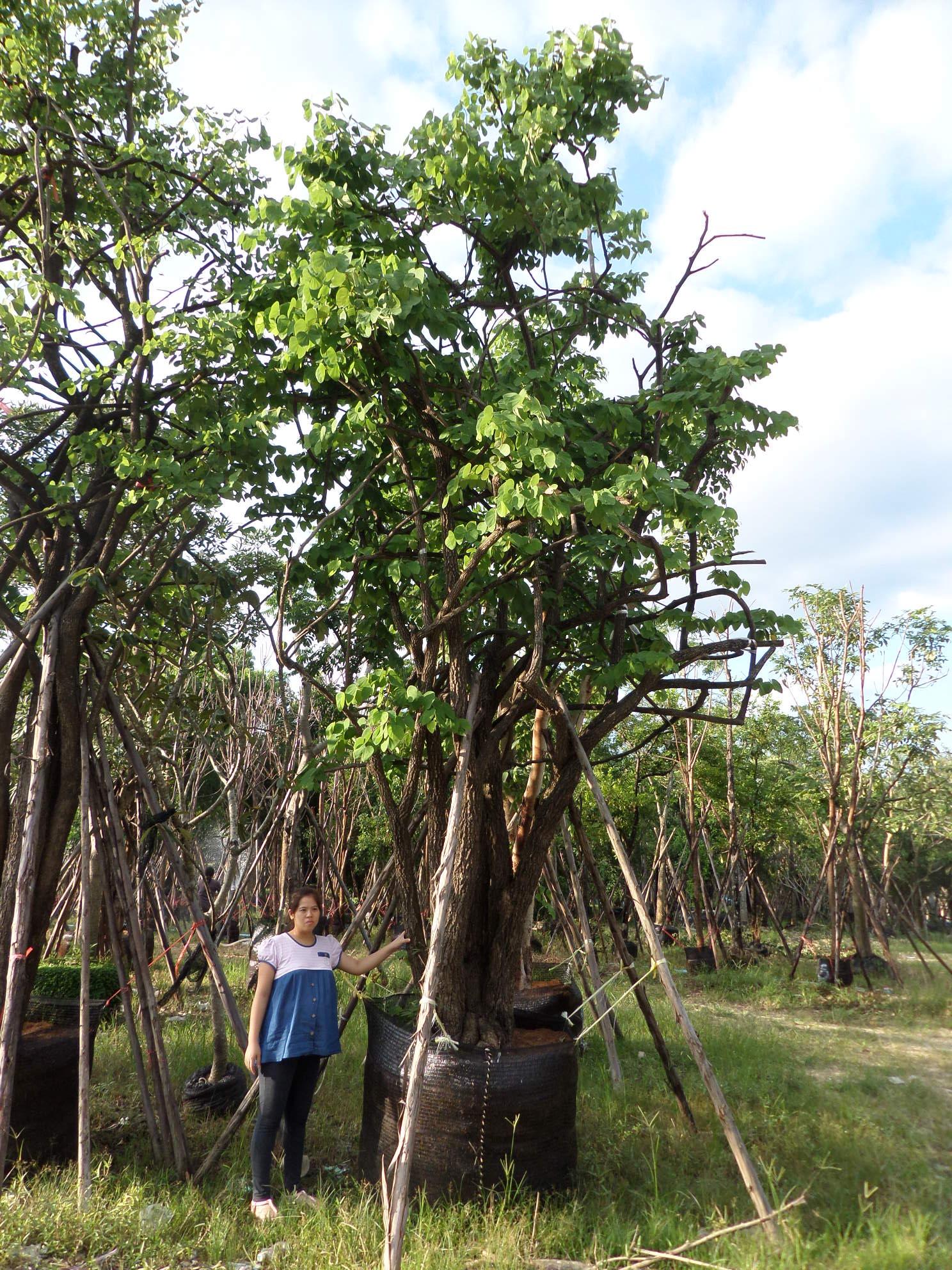 ขายต้นชงโคป่า เสี้ยวป่า