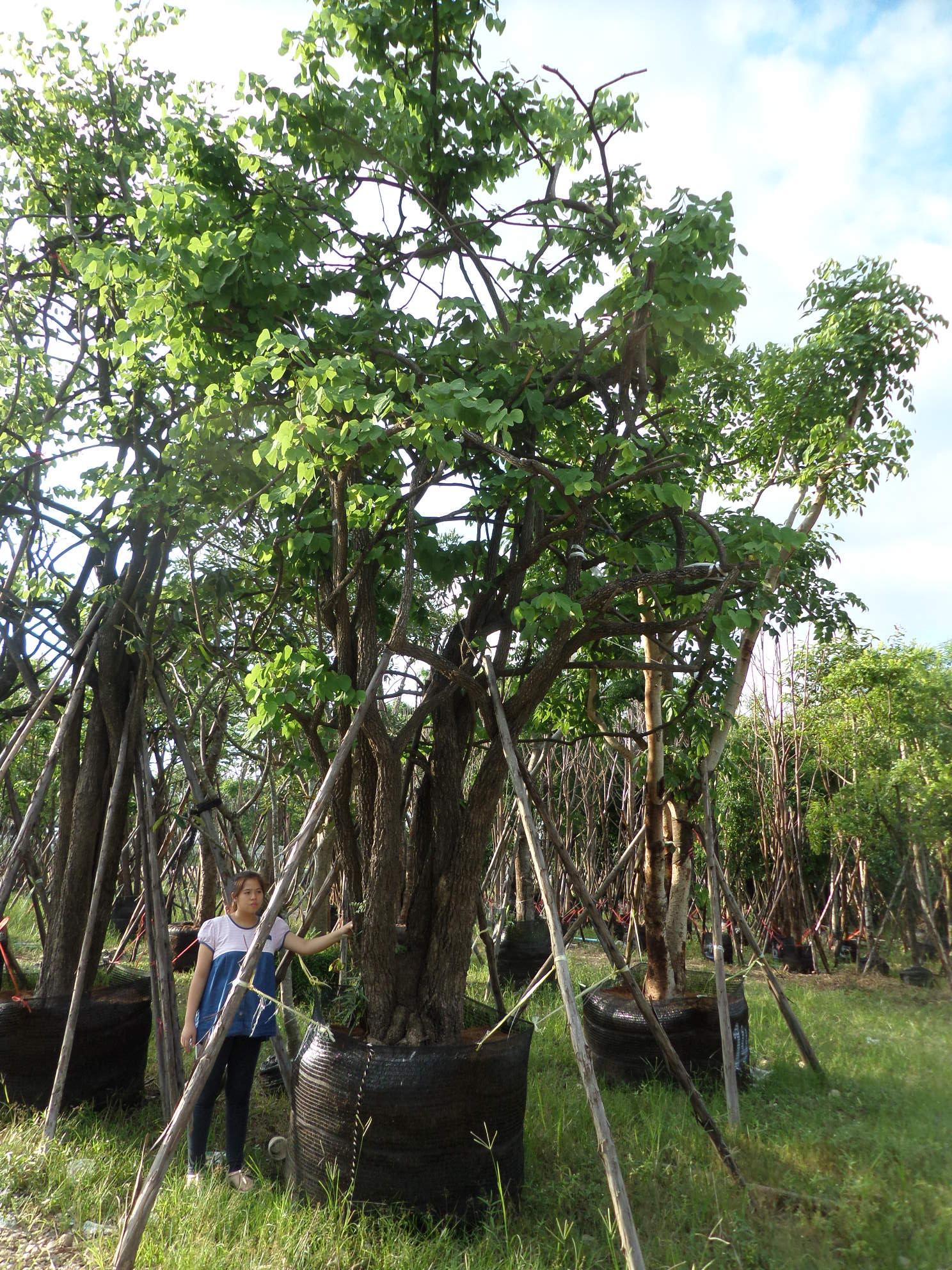 ขายต้นชงโคป่า
