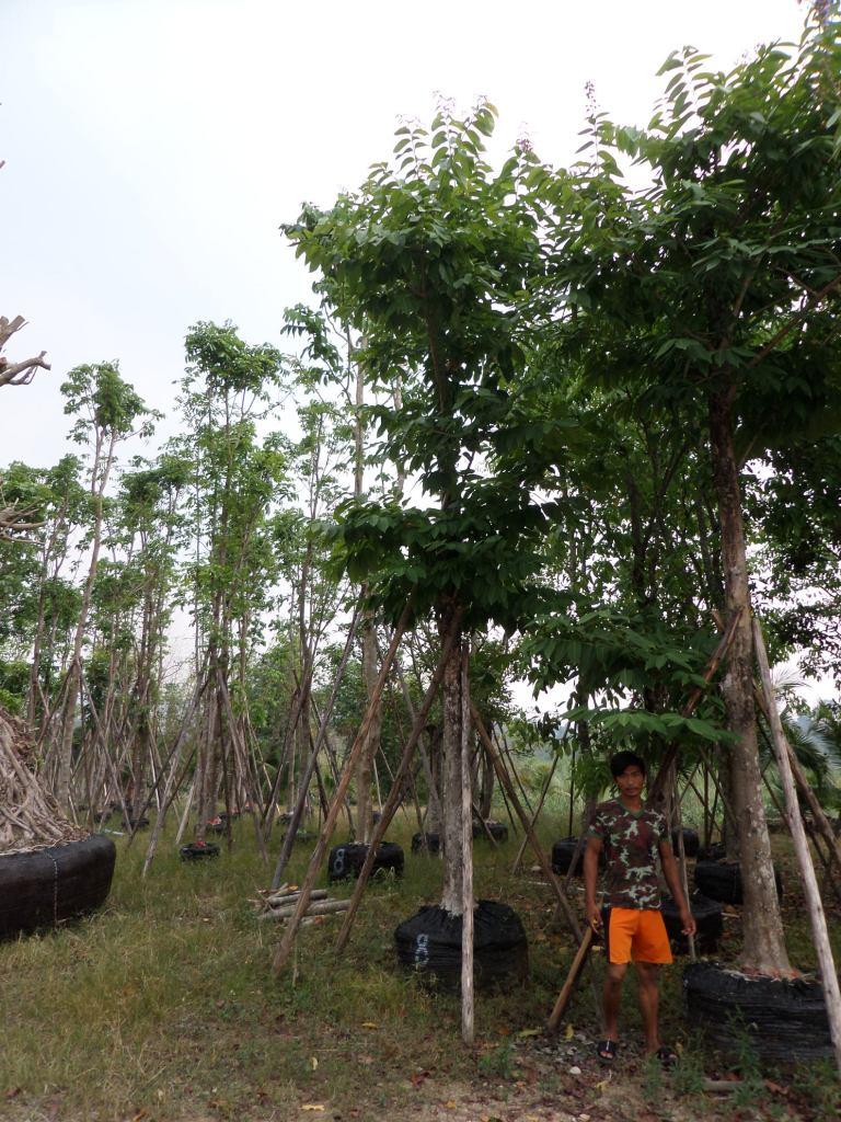 10ต้นอินทนิลน้ำ8