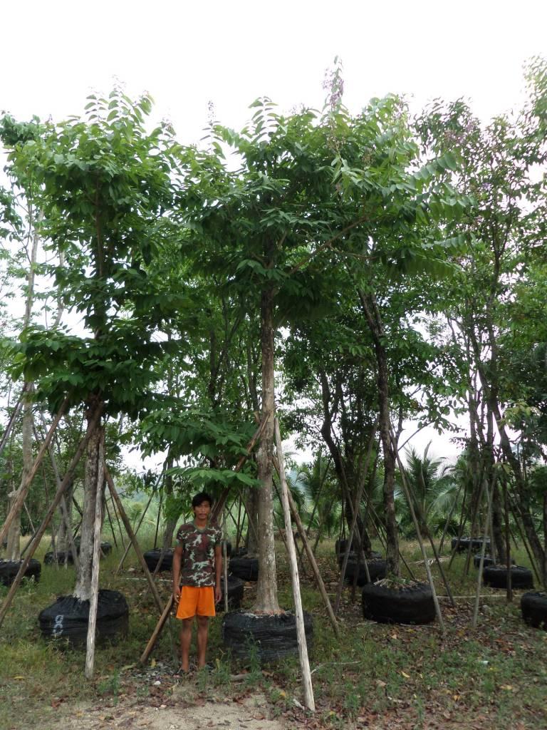 11ต้นอินทนิลน้ำ8
