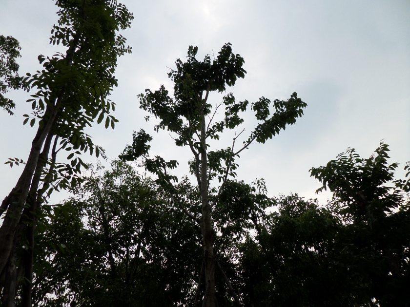 15ต้นอินทนิลบก11