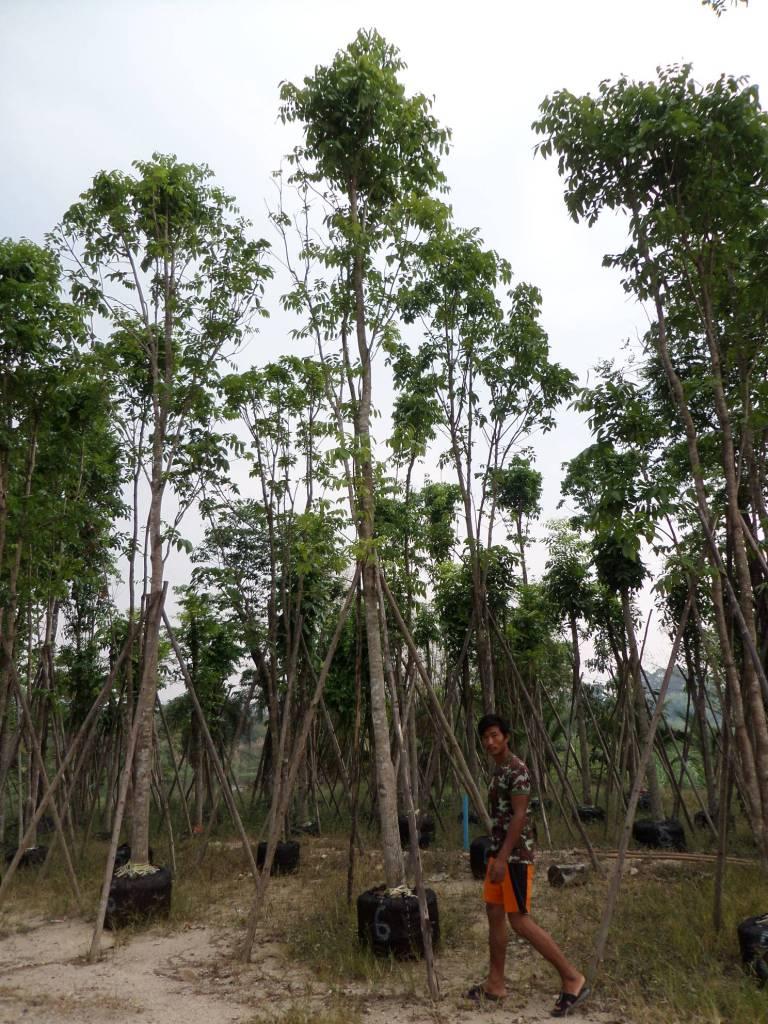 ขาย ต้นมะฮอกกานี