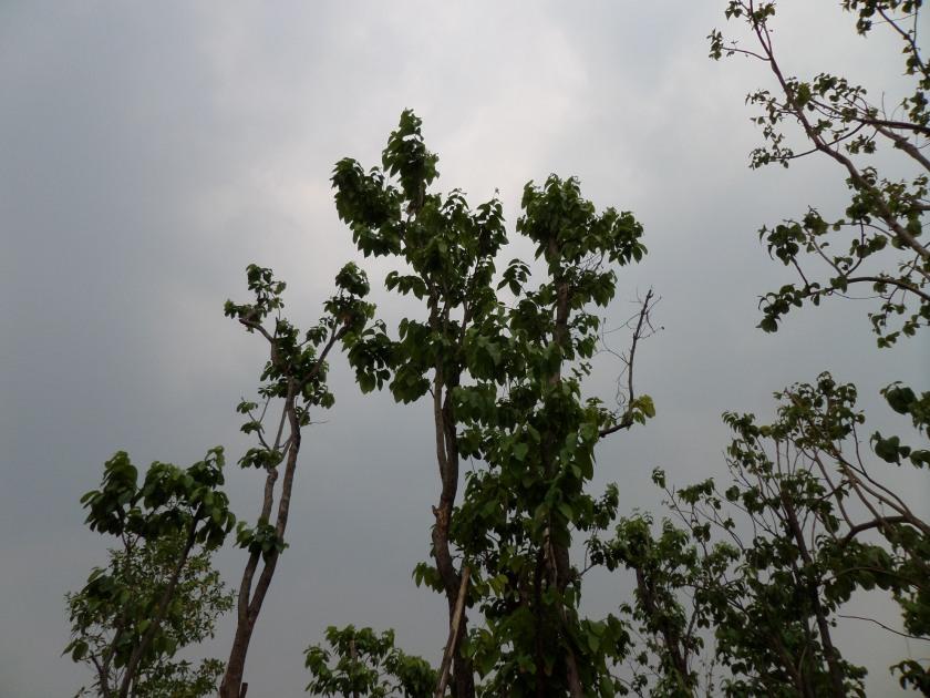 ต้นโมกหลวง11