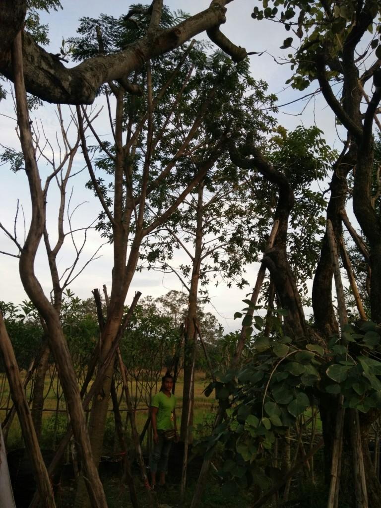 ต้นสาละลังกา 9 นิ้ว