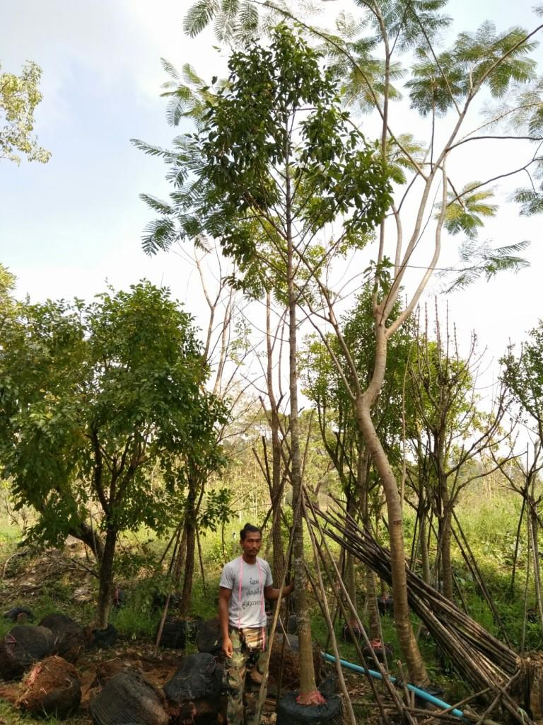 ขายต้นมั่งมี ขนาด 5 นิ้ว 5 เมตร ต้น2