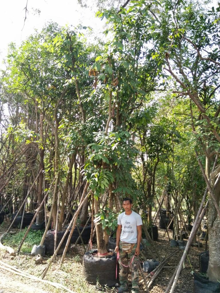ขายต้นหมากเม่าหลวง 7 นิ้ว 5 เมตร ต้น1