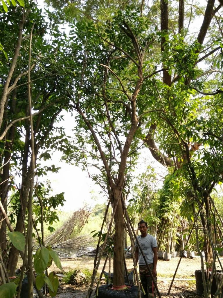 ขายต้นหมากเม่าหลวง 8 นิ้ว 5 เมตร ต้น 2