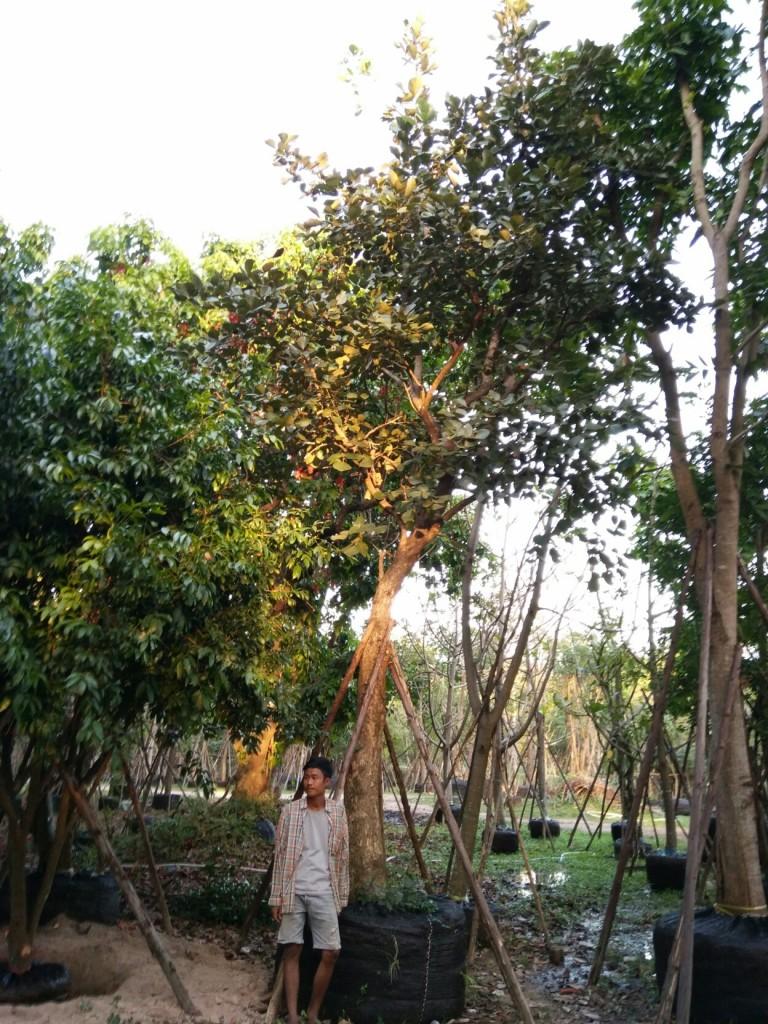 ขายต้นทองกวาว 14 นิ้ว 6 เมตร ต้นที่1