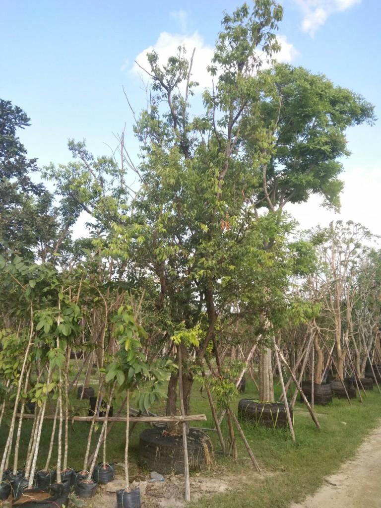 ขายต้นเสม็ดแดง 11 นิ้ว 5 เมตร ต้นคู่ ต้นที่1