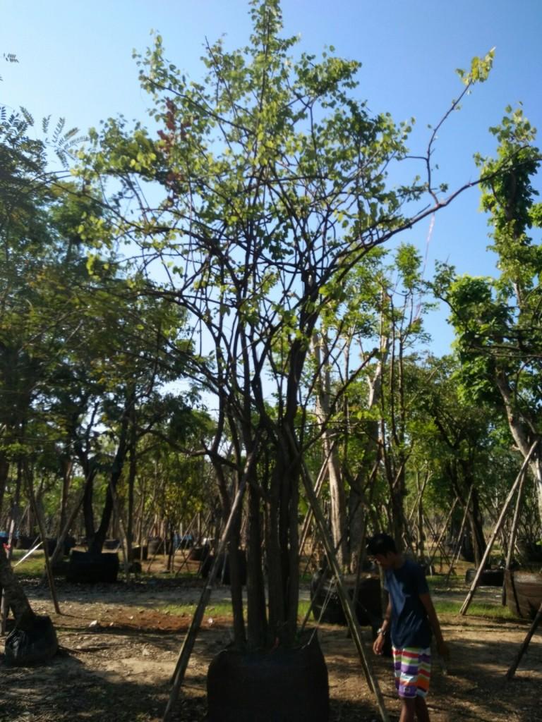 ต้นเสี้ยวป่าดอกขาวเป็นกอสูง5.5 เมตร 10,000 บ.ต้น2