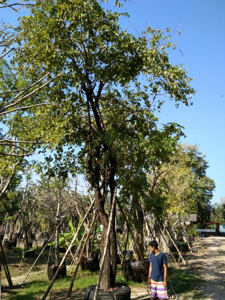 ต้นเสี้ยวป่าดอกขาว 16 นิ้ว 7 เมตร 16000 บ.ต้น1
