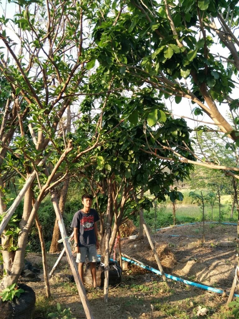 ขายต้นเกาลัด ไม้ล้อม 8 นิ้ว 4.5 เมตร ต้นที่1
