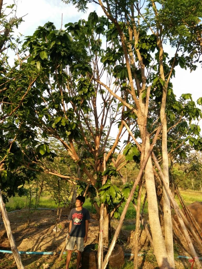 ขายต้นเกาลัด ไม้ล้อม 11 นิ้ว 5.5 เมตร ต้นที่2