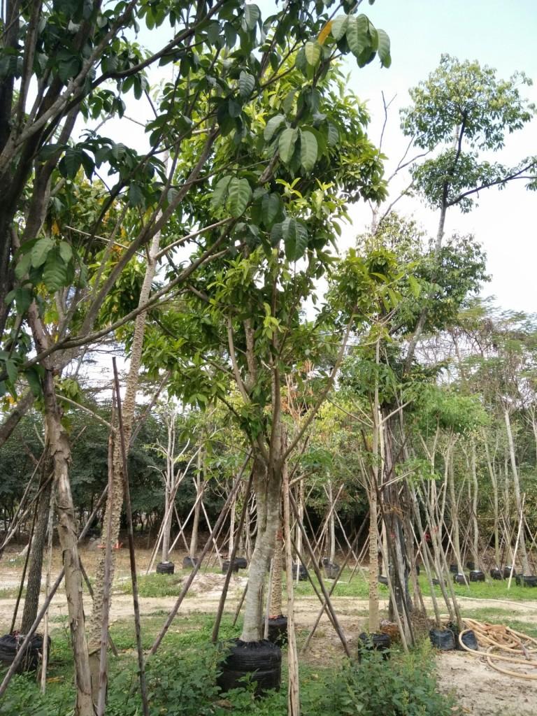 ขายต้นไทรแอปเปิลเขียว 9 นิ้ว 5 เมตร ต้นที่1