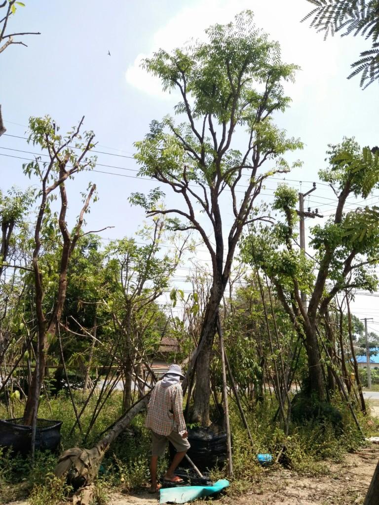 ต้นประดู่ป่า 12 นิ้ว