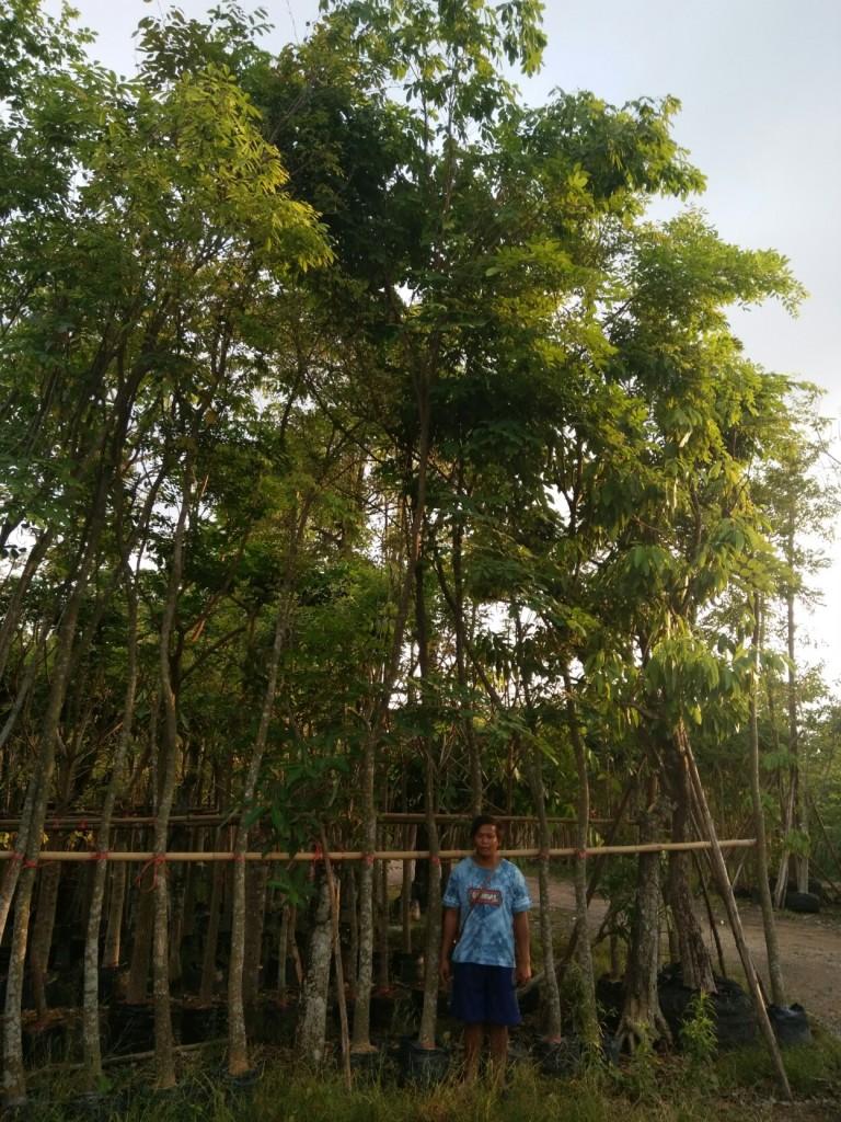 ต้นสาธร