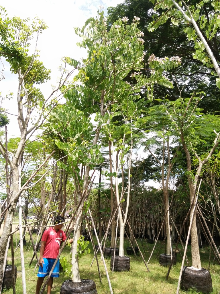 ต้นชงโคเปอร์เซีย