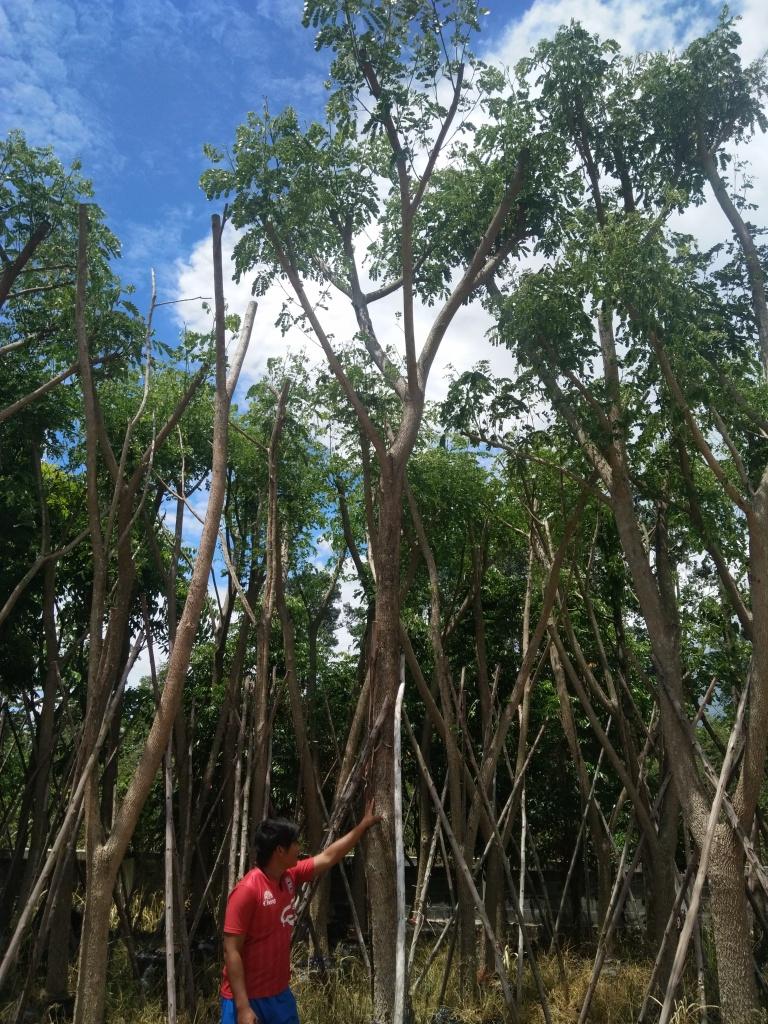 ต้นจามจุรี ต้นก้ามปู