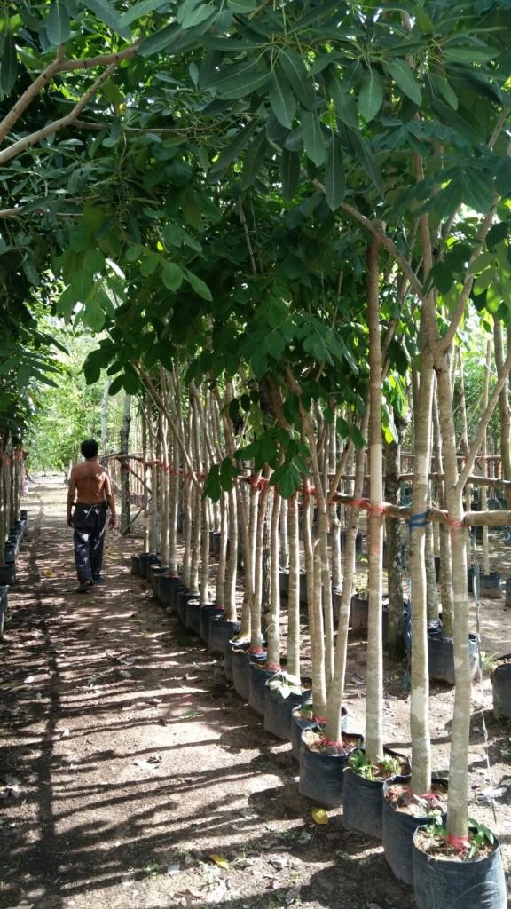 ขายต้นมะค่าโมง 2-3นิ้ว สูง3.5เมตร