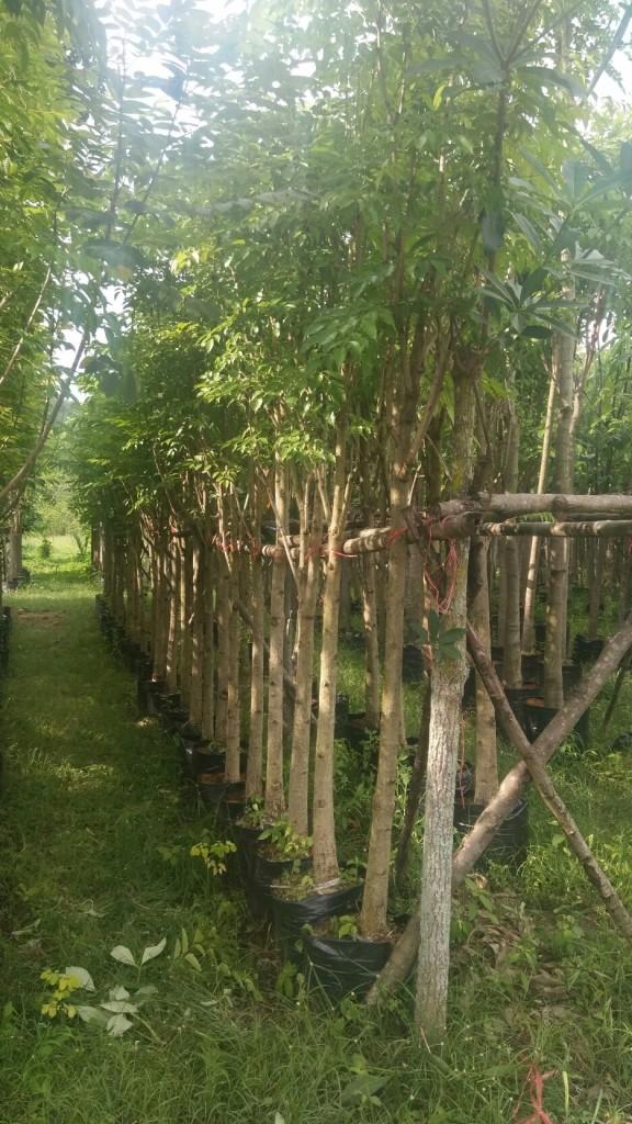 ขายต้นปีบทอง 3 นิ้ว สูง3.5-4เมตร