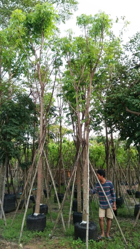 ต้นมะฮอกกานี้ 5 นิ้ว