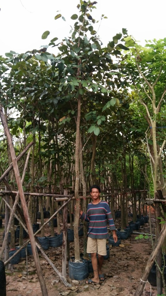 ขายต้นสมอไทย