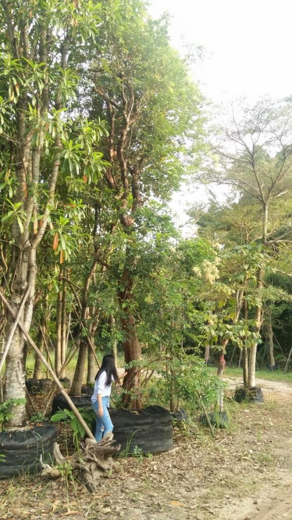 ต้นเสม็ดแดง