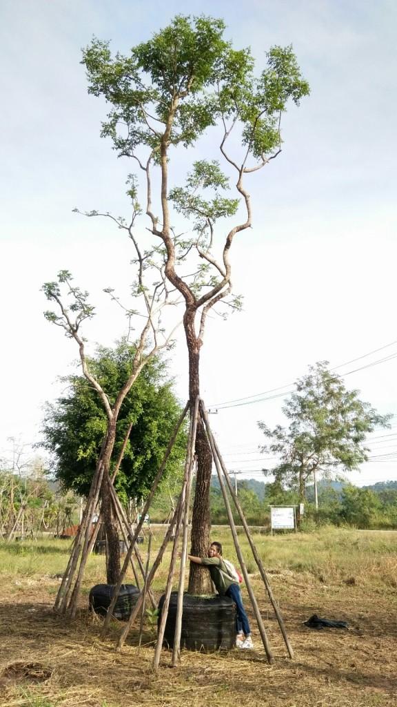 ต้นปีบเงิน 15 นิ้ว