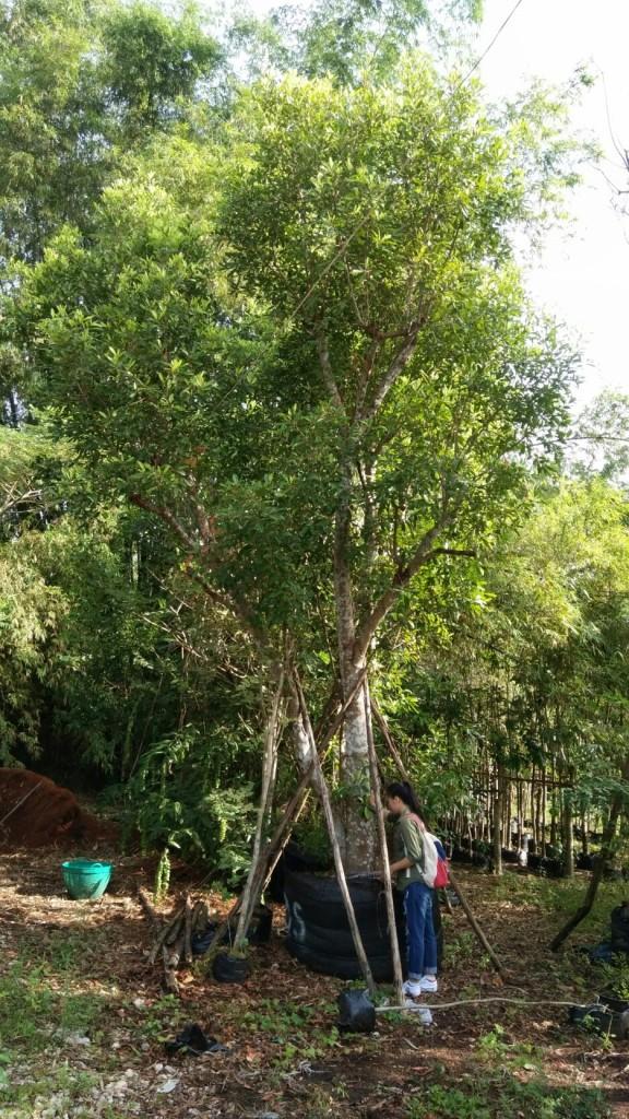 ต้นมะกอกน้ำ