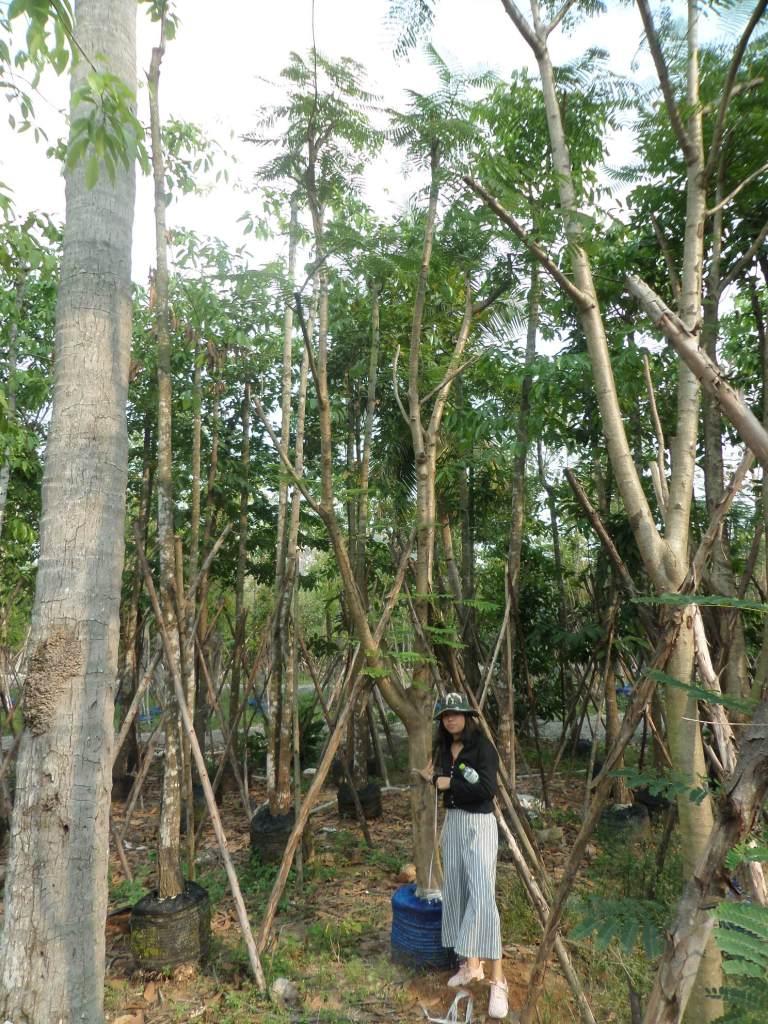 ขายต้นหางนกยูง 5-6 นิ้ว