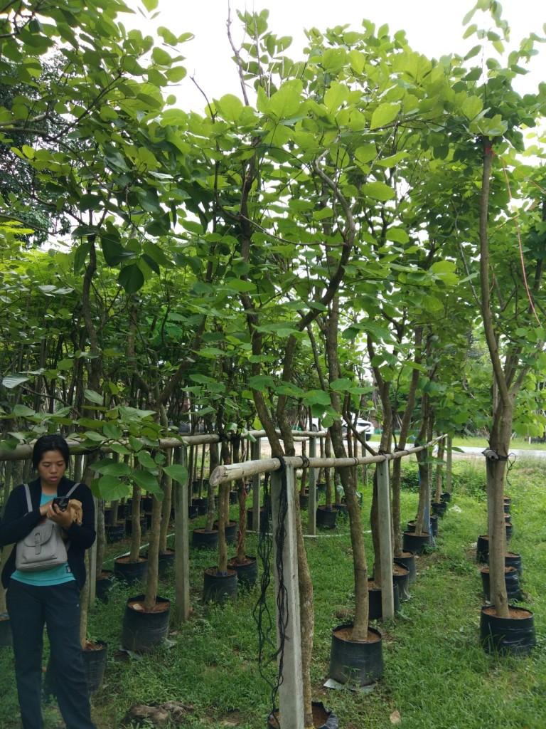 ต้นทองกวาว 3 นิ้ว