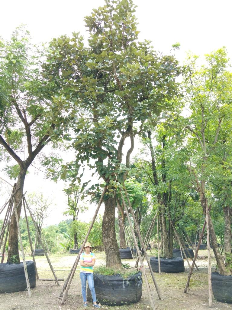 ต้นทองกวาว
