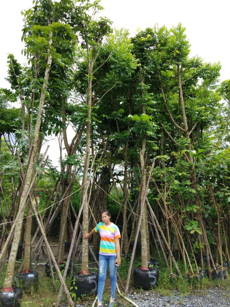 ต้นมะฮอกกานี 5 นิ้ว
