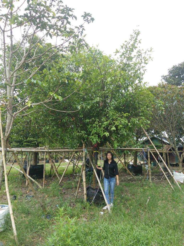 ต้นมะดัน