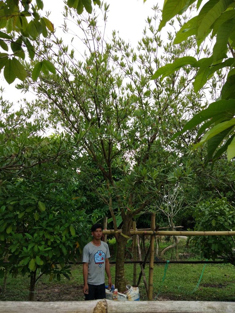 ต้นกระดิ่งนางฟ้า หรือ ต้นไคร้ย้อย