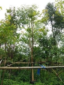 ต้นบุหงาส่าหรี