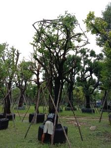6ต้นสี้ยวป่า15