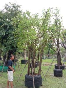 7ต้นสี้ยวป่ากอ