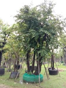 8ต้นเสี้ยวป่ากอ