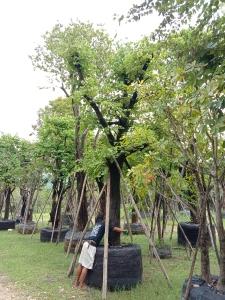 9ต้นเสี้ยวต้น14