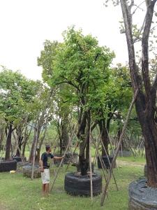 10ต้นสี้ยวป่ากอ