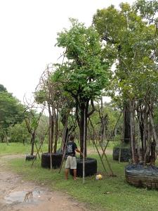 11ต้นเสี้ยวป่า13