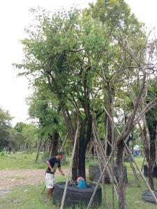 12ต้นเสี้ยวป่า17