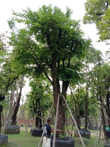 14ต้นประดู่ป่า17