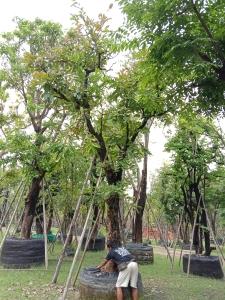 15ต้นอินทนิลบก15