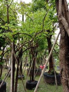 20ต้นเสี้ยวป่า6